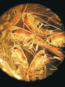 Amfipoder, de zooplankton  som genom att äta upp oskyddade plankton saboterade en tänkt koldioxidsänka i havet. Foto: H. Gonzales / Alfred Wegener Institute